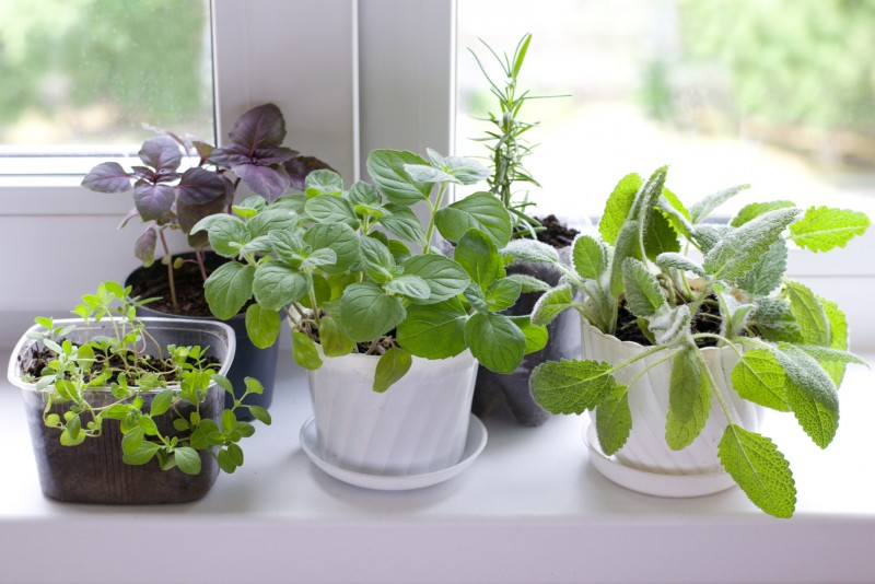 herbs on window