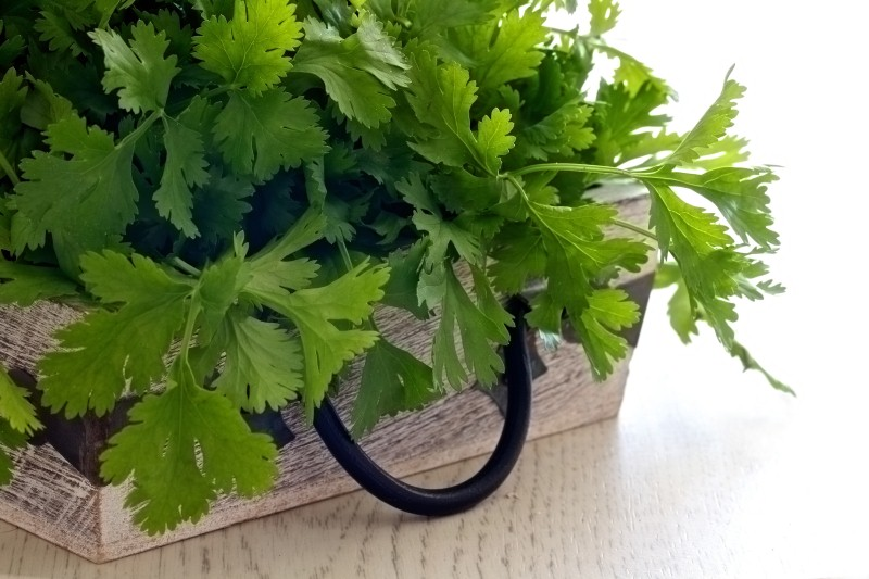grow-cilantro-in-pots
